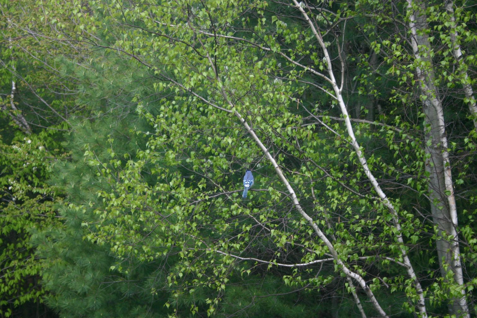 A Blue Jay in the green thickness